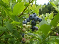 Blueberry002