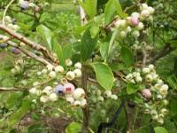 Blueberry004