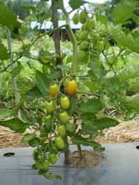 Tomato014
